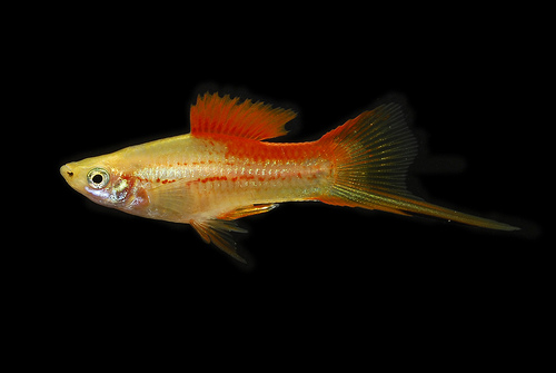 Swordtail Fish Breeding Great fish for your freshwater